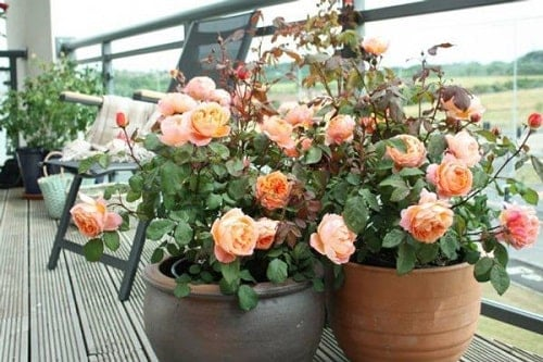Ý nghĩa phong thủy của hoa hồng
