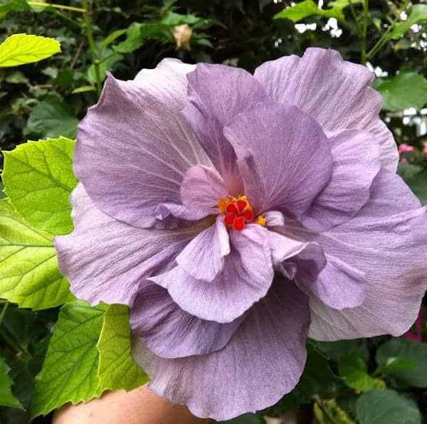 Hình ảnh hoa dam bụt tím