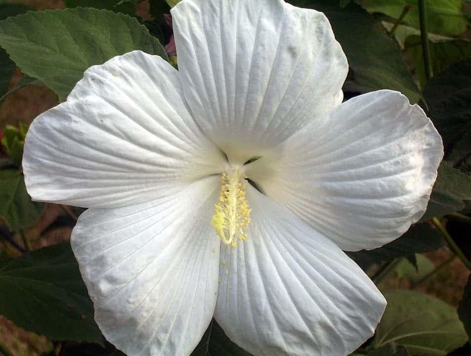 Hoa dâm bụt trắng tinh