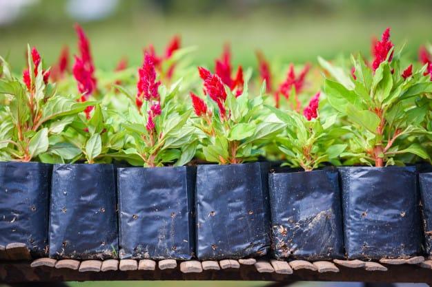Kỹ thuật trồng hoa mào gà đuôi phụng